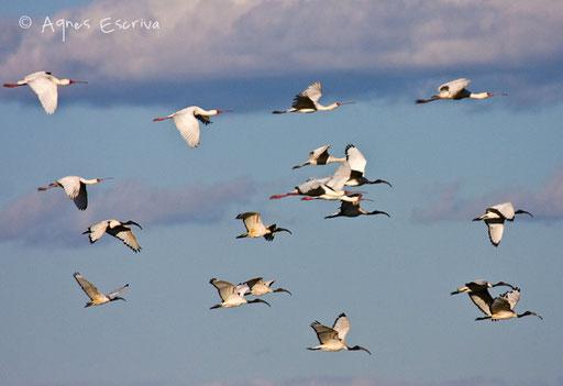Vol de tantales et ibis sacrés