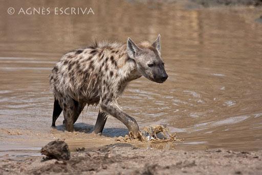 Hyène sortant du bain à Mopani Dam