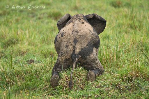 Eléphanteau se grattant le ventre