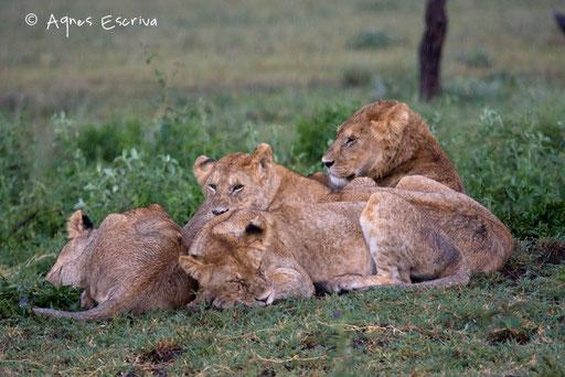 Jeunes lions sous la pluie