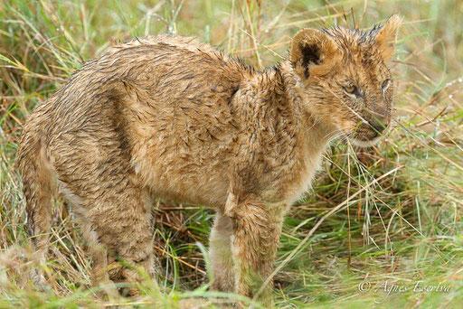 Lionceau de la Marsh pride (3 mois)