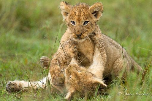 Lionceaux du clan d'Olkiombo