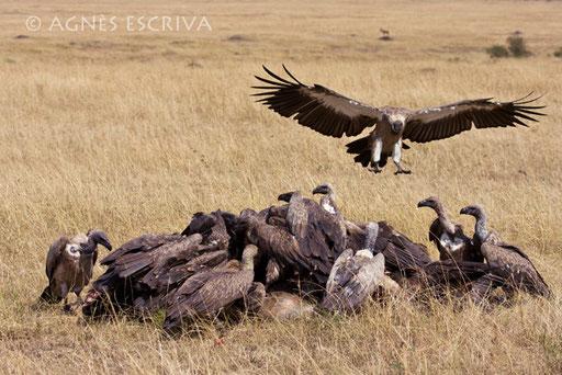 Le festin des vautours