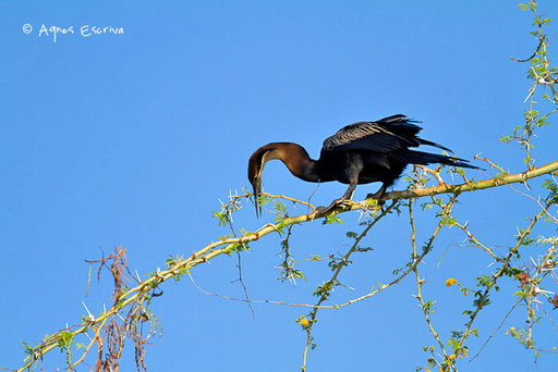 Anhinga ramassant des branches pour confectionner son nid