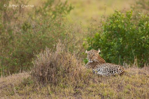 Olive, femelle léopard de 11 ans