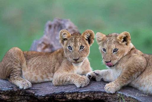 Lionceaux de Sila de 3/4 mois