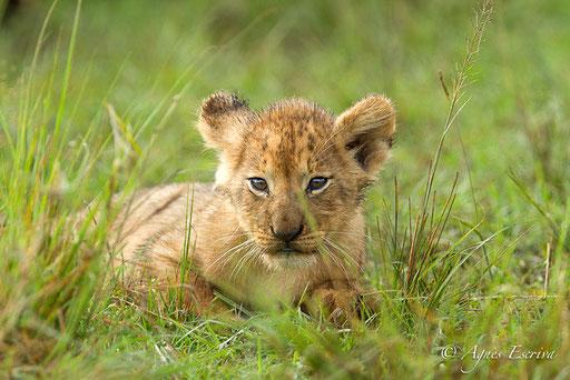 Lionceau du clan d'Olkiombo