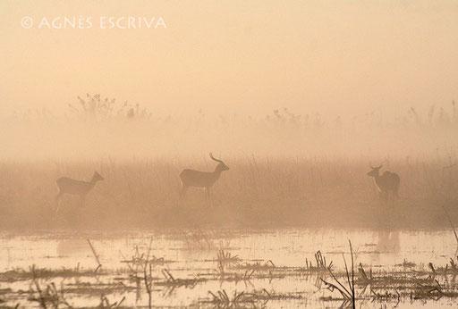 Tri'eau dans la brume - Cobe lechwe noir
