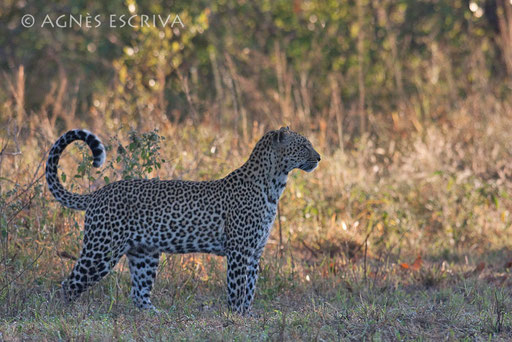 Karula, femelle née en mars 2004, mère de Thandi et Shadow nées en 2007, et de  Induna (Luangwa) et Mixo (Kafue) nés en novembre 2008 (mai 2010)