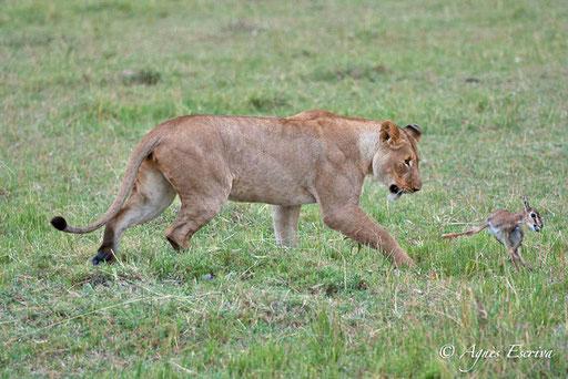 Jeune lionne (fille de Bibi) jouant avec un bébé gazelle de Thomson