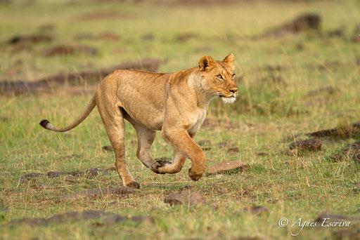Fille de Bibi chassant deux jeunes lionnes indésirables