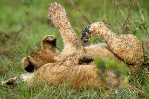 Charm et lionceau