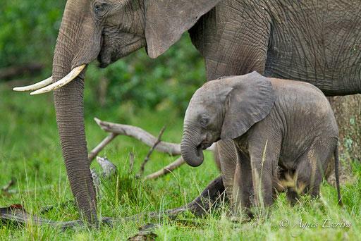 Eléphanteau et sa mère