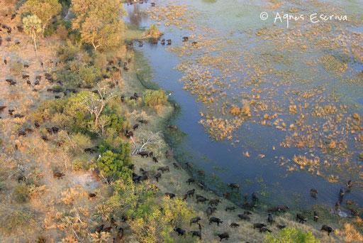 Buffles - Delta de l'Okavango