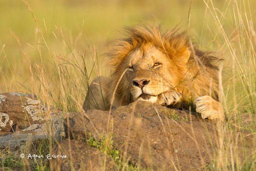 Jeune lion de Paradise