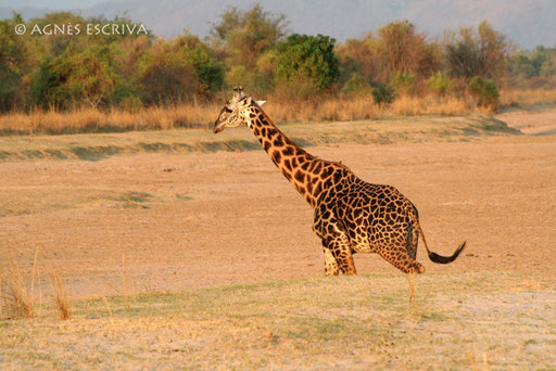 Girafe Thornicroft