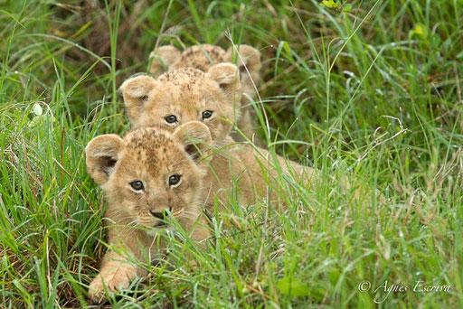 3 lionceaux de Bibi dans leur cachette (5 semaines)