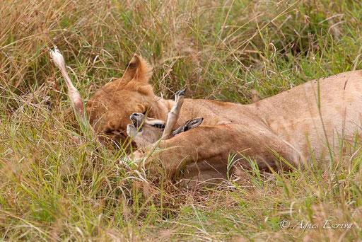 La lionne joue...