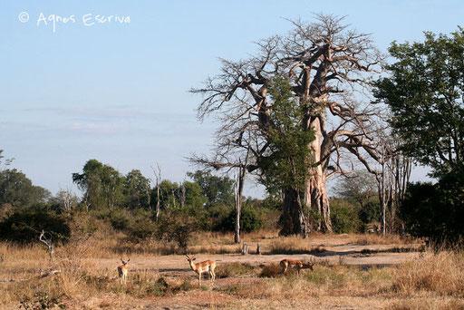 Baobab et impalas