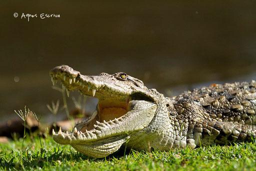 Crocodile prenant le chaud