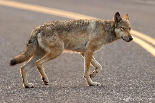 Loup gris femelle qui traverse la route
