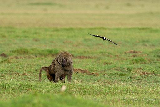 Un babouin menace les oeufs de ce pluvier