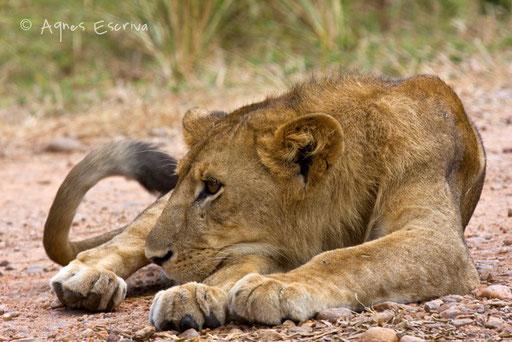 Jeune lion 2