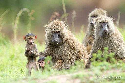 Babouins en famille