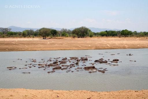 Hippos dans la Luangwa