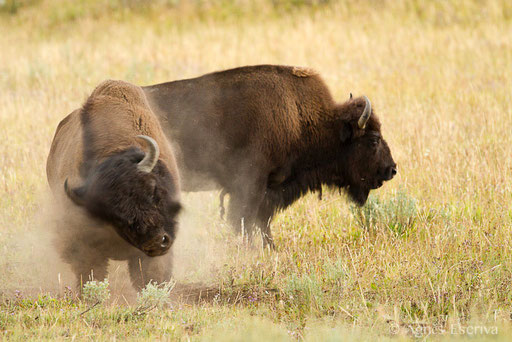 Couple de bisons