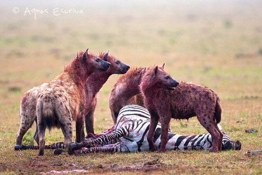 Hyène dévorant un zèbre