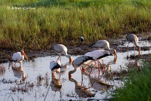 La pêche des tantale ibis d'Afrique