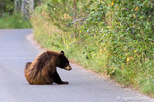 Jeune ours noir qui se gratte