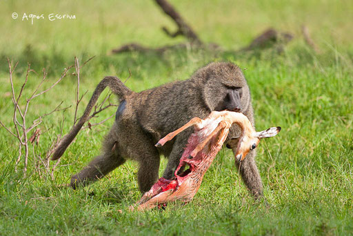 Babouin déplaçant un bébé impala chipé à des chacals
