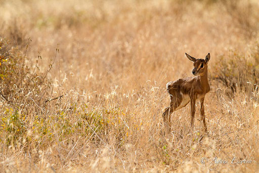 Baby gazelle de Grant