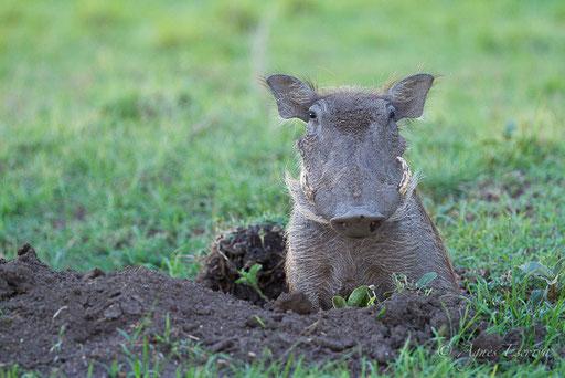 Jeune phacochère sortant de son trou