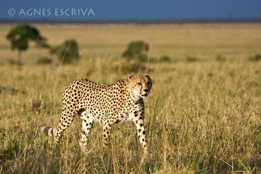 Un des 3 frères guépards à la chasse