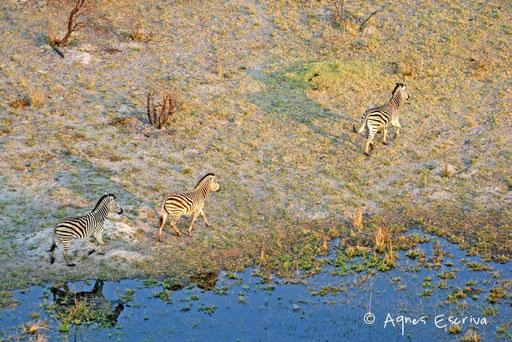 Zèbres - Delta de l'Okavango