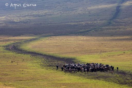 Troupeau masaï