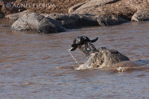Attaque de crocodile