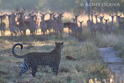 Karula et les impalas