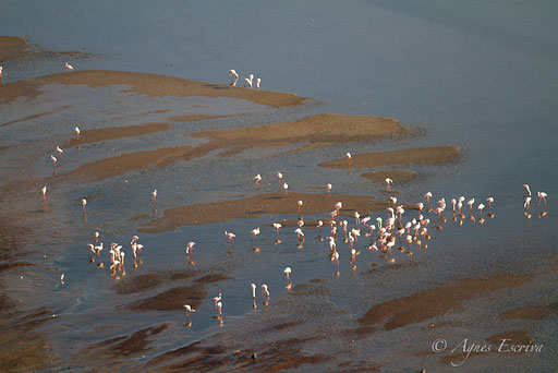 Flamants nains, Lac Magadi