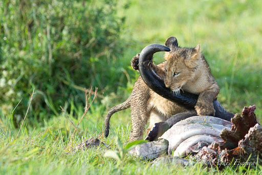 Lionceau de la Marsh pride sur une proie (buffle)