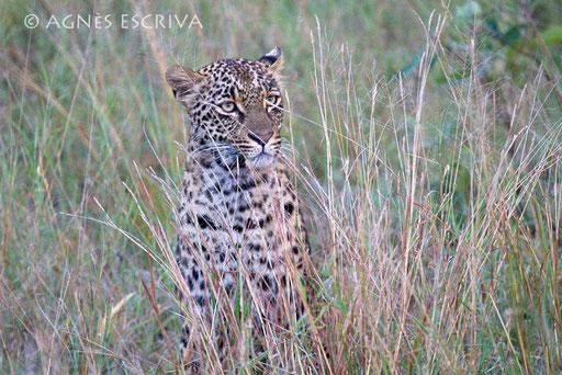 Thandi fille de Karula, née en 2007, soeur de Shadow, fréquente Nvula  (mai 2010)