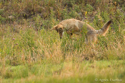 Coyote qui mulote