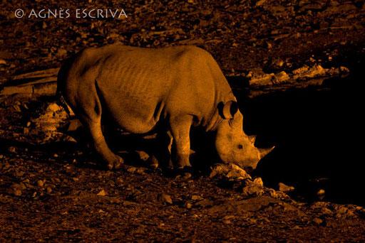 Rhino nocturne
