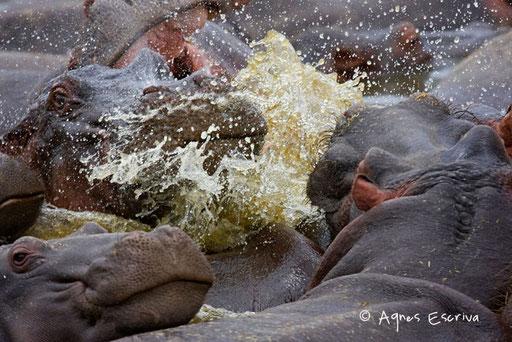 Enervements d'hippos