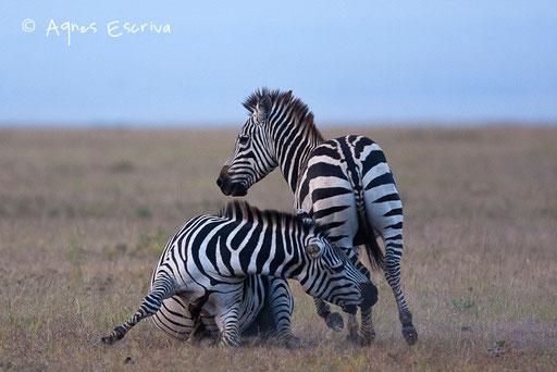 """Combat de zèbres mâles (il convient d'attraper """"les parties génitales"""" de l'adversaire)"""