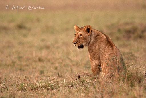Une jeune lionne le matin, départ à la chasse avec Siena et Bibi