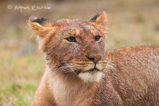 Jeune lionne de 15 mois